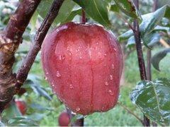 规范优化红梨苗木市场 大力推进红梨产业发展
